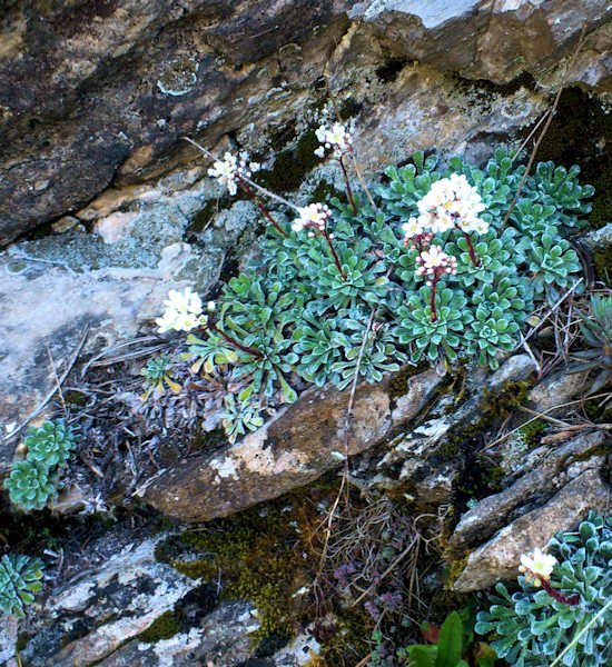 Saxifraga: Endemic to the Roya valley